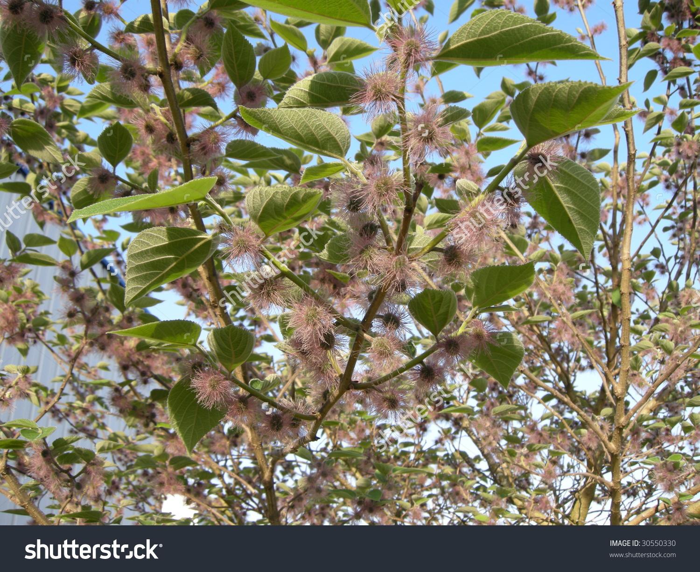 Mulberry Tree China Flower Broussonetia Papyrifera Stock Photo.