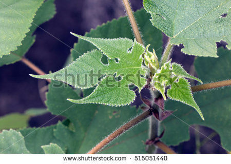 Paper Mulberry Tree Stock Photos, Royalty.
