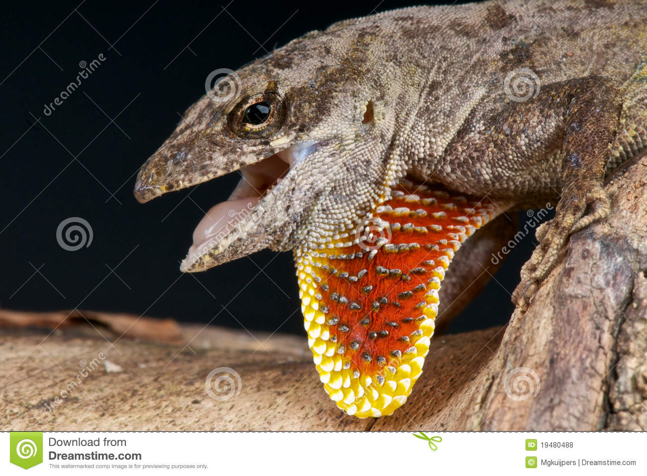 Brown Anole Royalty Free Stock Photos.