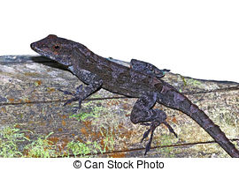 Stock Image of Male Anole.