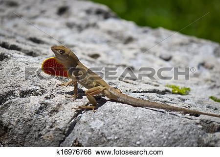 Stock Images of Brown Anole lizard displaying its dewlap k16976766.