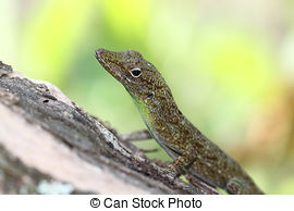 Stock Images of Brown Anole.