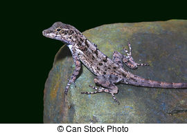 Stock Photo of Female Brown Anole Lizard.