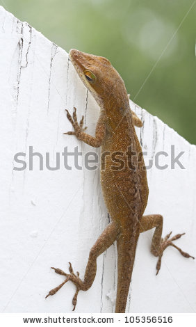 "brown_anole"" Stock Photos, Royalty."