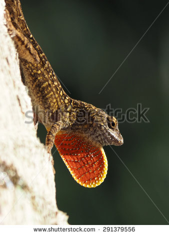 Brown Anole Stock Photos, Royalty.
