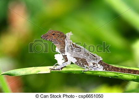 Stock Photography of Brown Anole.