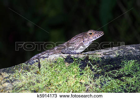 Stock Photo of Brown Anole k5914173.