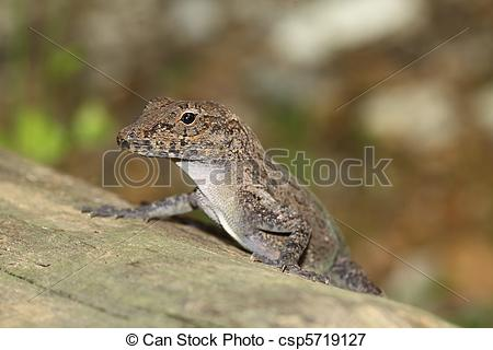 Picture of Brown Anole.