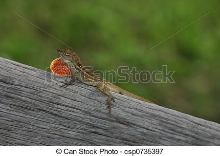 Picture of Brown Anole in Florida, showing off his red dewlap.