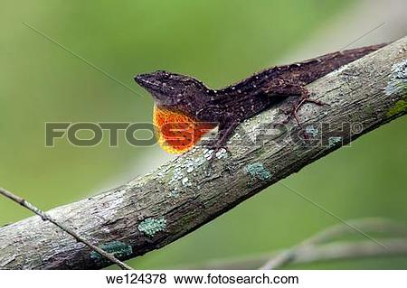 Pictures of Brown Anole.