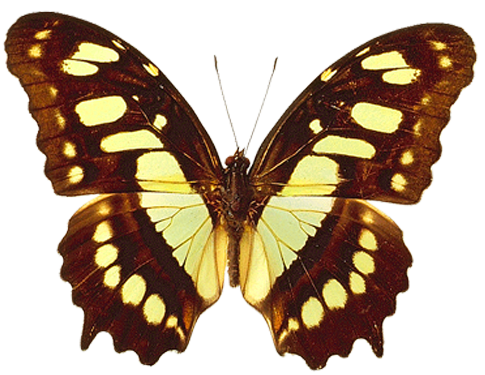 PNG Transparent Brown and Yellow Real Butterfly Clipart.