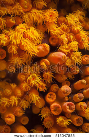 Orange Cup Coral Stock Photos, Royalty.