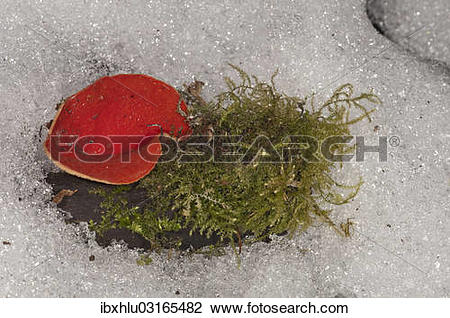 "Stock Photo of ""Scarlet Elf Cup (Sarcoscypha coccinea), fruit body."