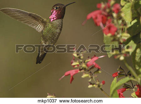 Picture of Anna's Hummingbird [Calypte anna] male visiting Salvia.