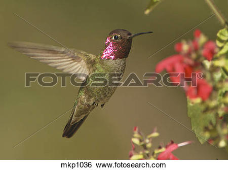 Stock Images of Anna's Hummingbird [Calypte anna] male visiting.