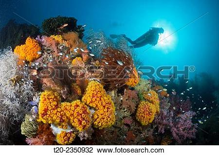 Stock Photo of Reef of Orange Cup Corals, Tubastrea coccinea.