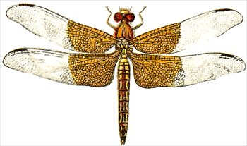 Free dragonfly clipart images.