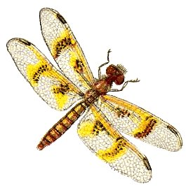 Free Dragonflies Clipart.