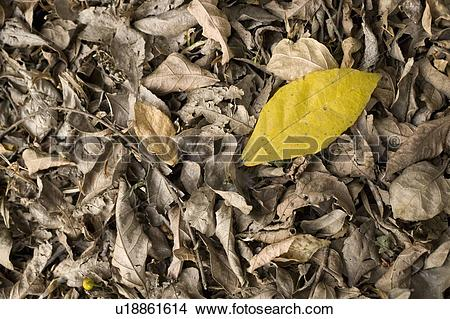 Stock Photo of a yellow leaf laying on top of dry, brown leaves on.