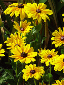 Brown Eyed Susans Photo Clipart Image.