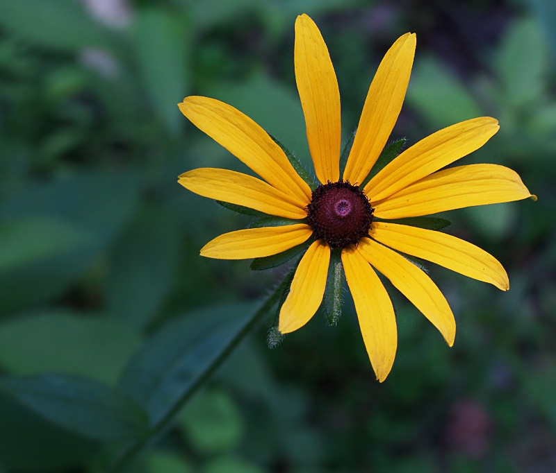 Black Eyed Susan Flower Macro Royalty Free Stock Image Image.