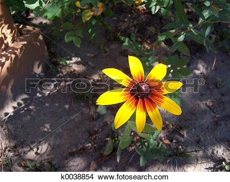 Stock Photo of Brown Eyed Susan k0038854.