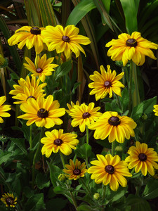 Free Black Eyed Susans Photo Pictures.