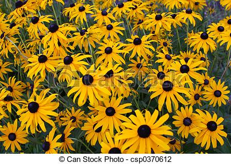 Stock Photo of Brown Eyed Susan csp0370612.