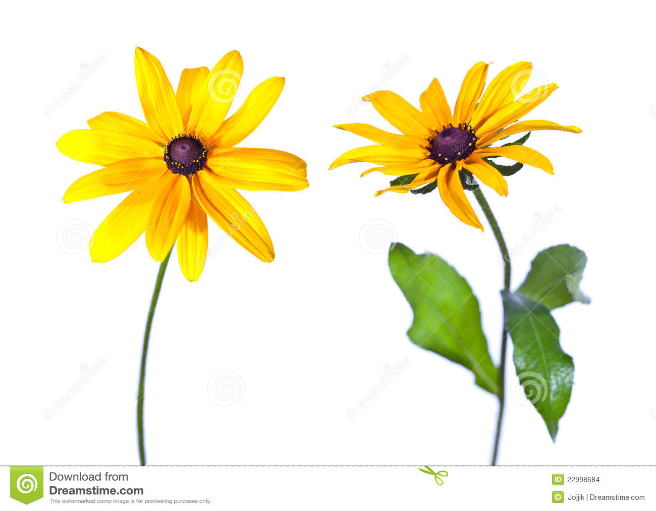 Brown eyed susan clipart.