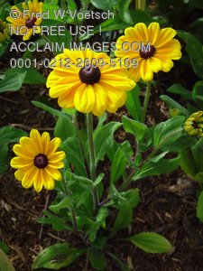 Clip Art Stock Photo of Brown Eyed Susan Flowers.