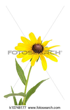 Picture of Isolated black eyed susan flower k10748177.