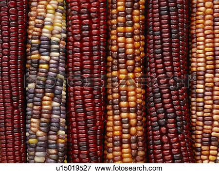 Picture of Flint corn u15019527.