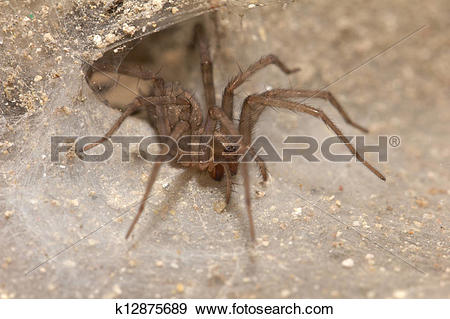 Stock Photograph of Funnel Web Weaver Grass Spider out on his.