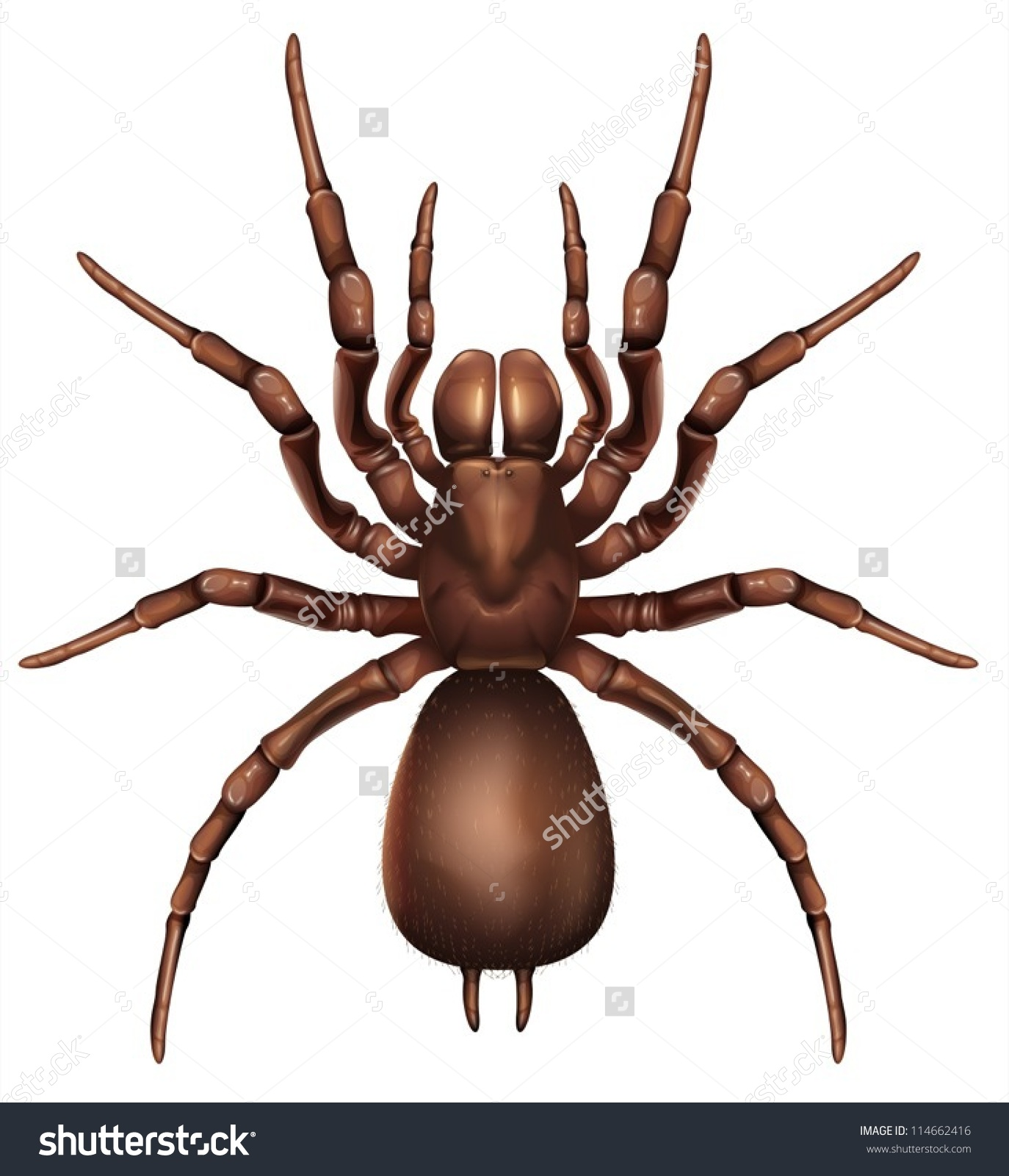 Illustration Sydney Funnelweb Spider Atrax Robustus Stock Vector.