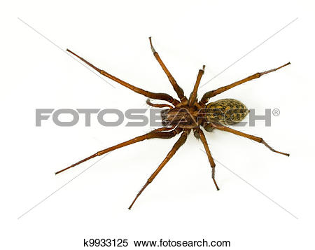 Stock Image of Scary funnel web spider k9933125.