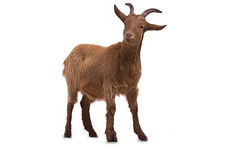 Brown goat clip art high quality clip art.