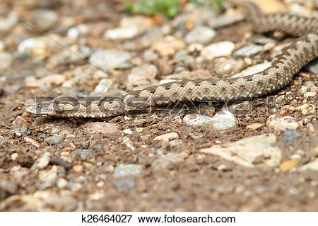 Picture of european horned viper on gravel k26464027.