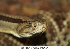 Stock Photography of Horned viper snake.