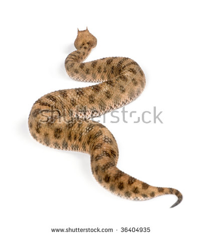 Horned Viper Stock Images, Royalty.
