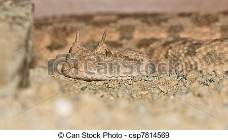 Stock Photographs of Desert horned viper portrait.