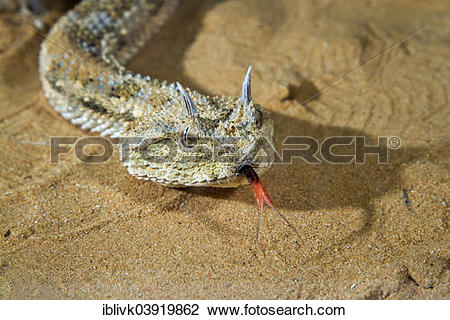 "Stock Photo of ""Saharan Horned Viper (Cerastes cerastes) in the."