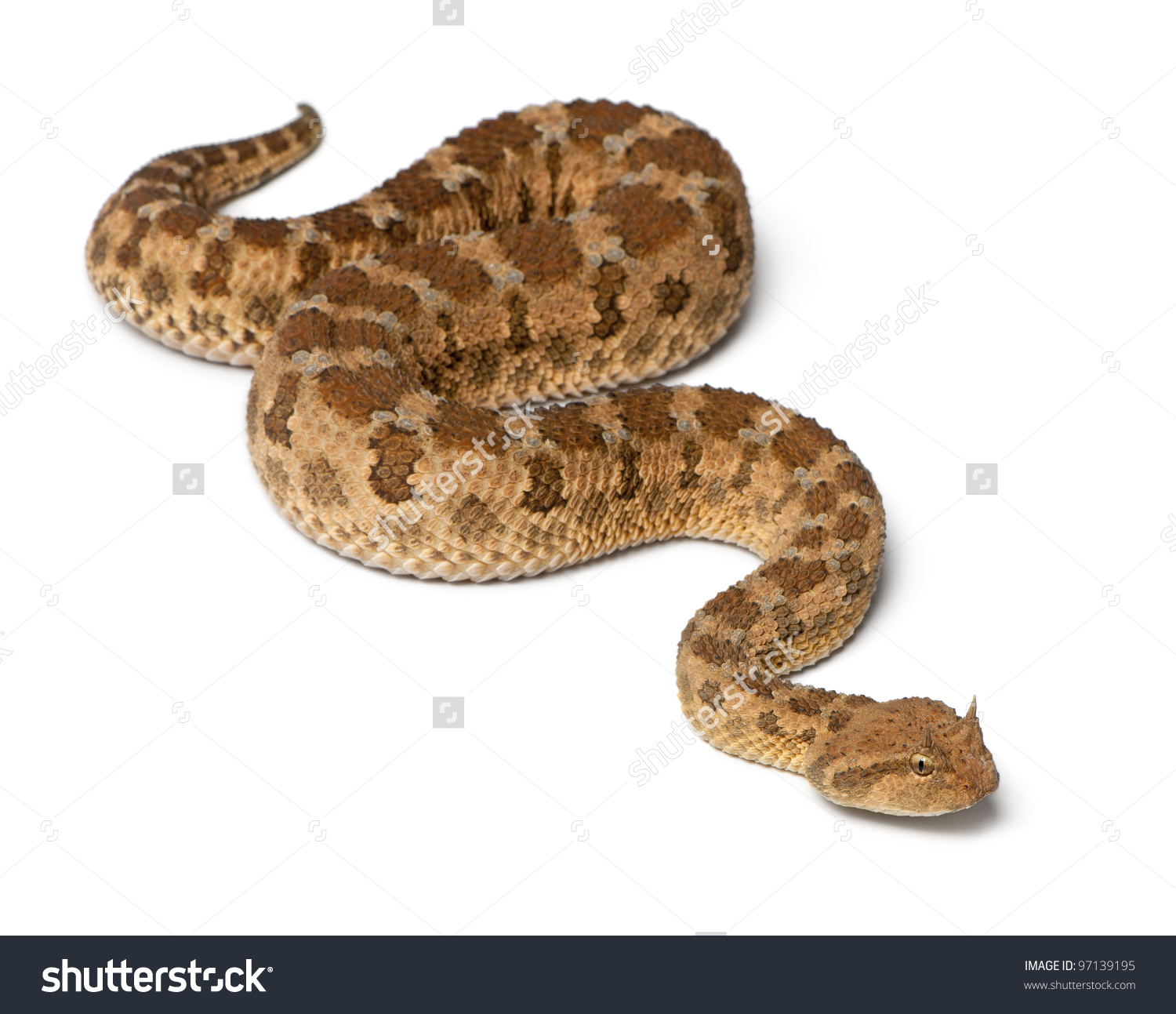 Saharan Horned Viper Cerastes Cerastes Poisonous Stock Photo.
