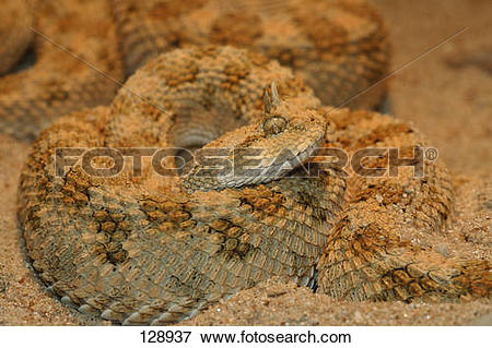 Picture of Saharan horned viper / Cerastes cerastes 128937.