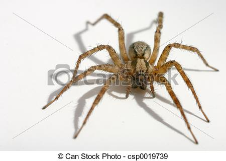 Stock Photographs of House Spider.