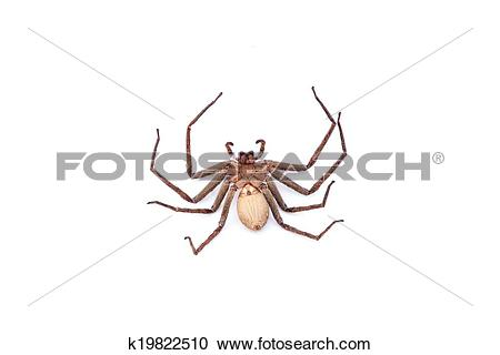Stock Photography of Large house spider (Tegenaria atrica.