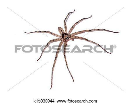 Stock Photo of Hairy house spider (Tegenaria domesticus) on white.