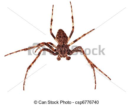 Stock Photography of House spider macro, studio isolated.