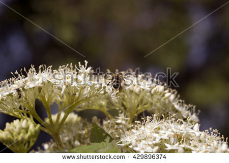 Umbel Inflorescence Stock Photos, Royalty.