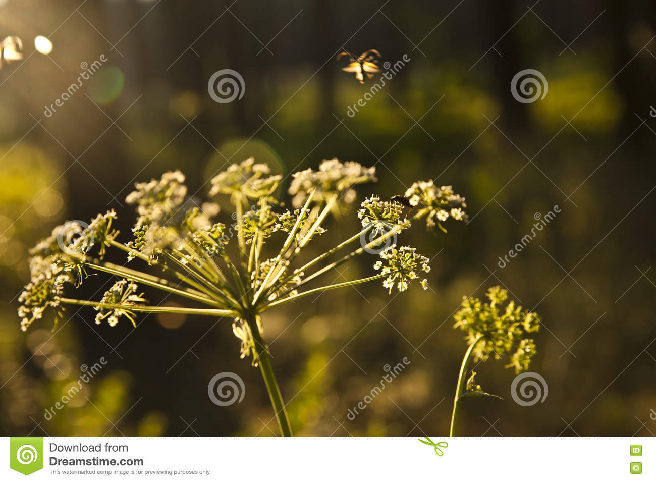 Inflorescence Of An Umbelliferous Plant Stock Photo.