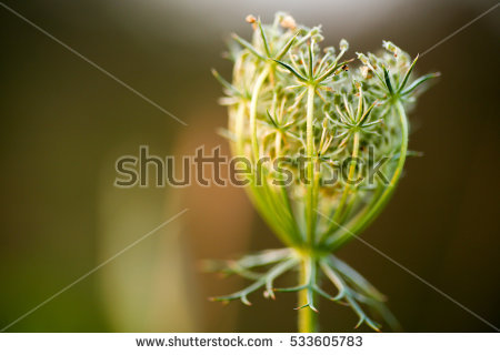 Umbrella Inflorescence Stock Photos, Royalty.